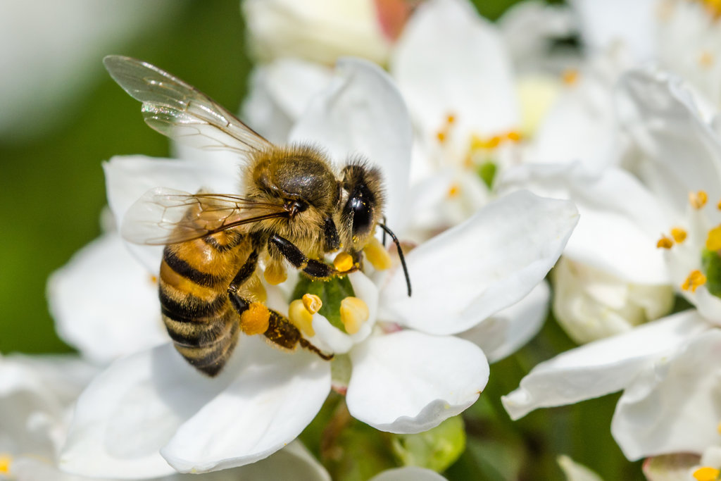 A honey bee gathering pollen on a white flower. Dagmar Sporck/EyeEm, via Getty Images
