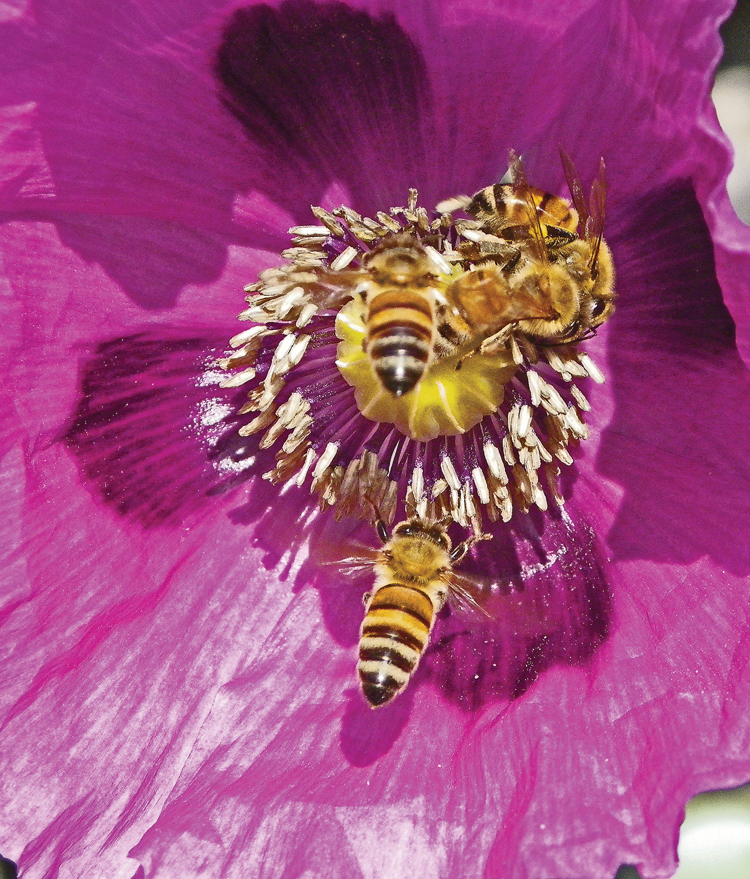 Treat Your Bees To A Banquet Of Poppies Bee Culture