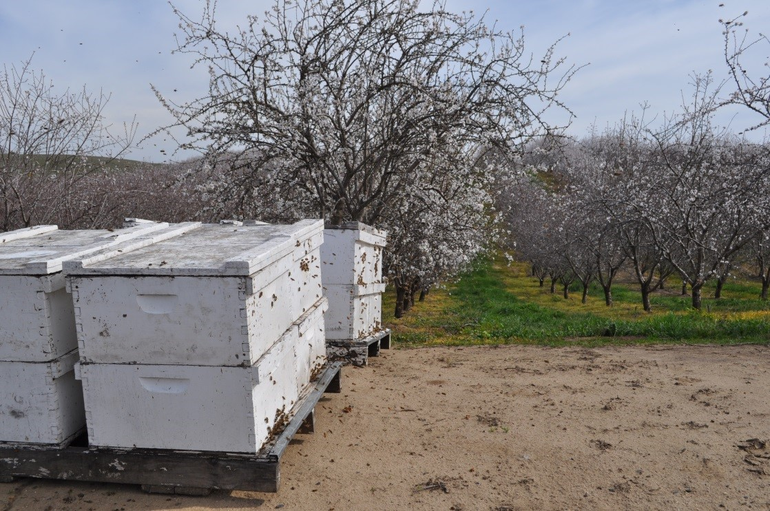 CATCH THE BUZZ – Best Management Practices In Almond Orchards State With Good Communication