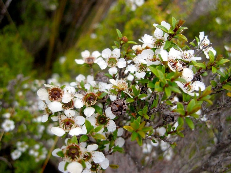 CATCH THE BUZZ – New Zealand's  'manuka honey season that wasn't', but TRUE Manuka Finally identified.
