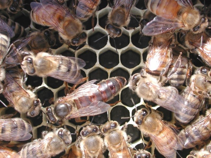 CATCH THE BUZZ – So, where do honey bees come from, really? California Scientists want to know.