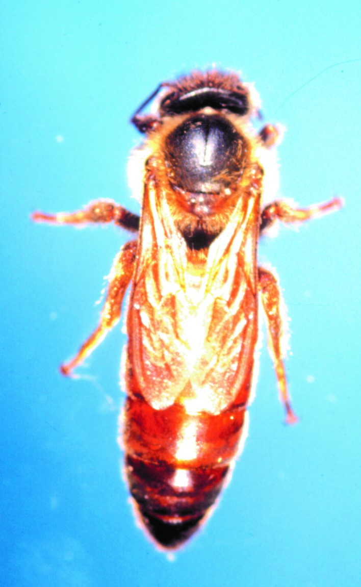 CATCH THE BUZZ – Honey Bee diversity is due to many diverse origins. None from Indiana, however.