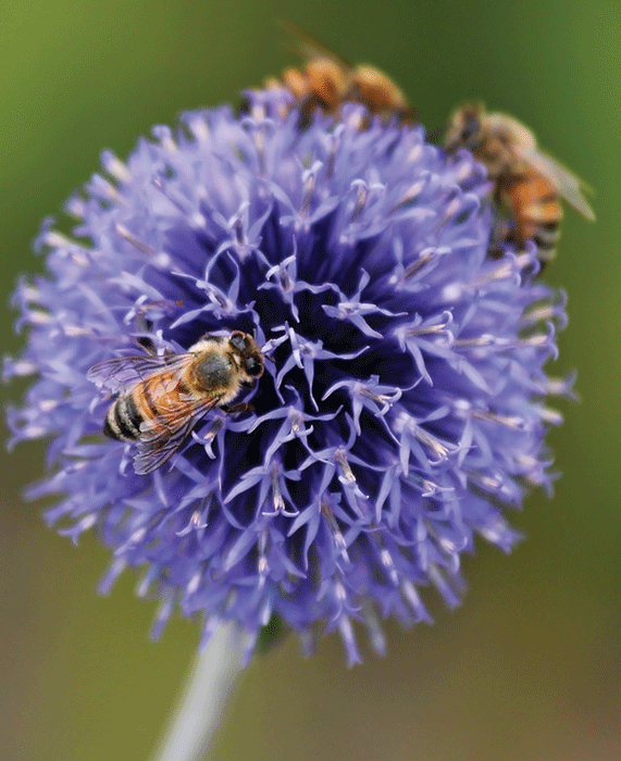 Blue blossoms for honey bees bee culture bumble bees and honey bees can often be found sharing the spherical mid late summer flowers of globe thistle among the most commonly available species are mightylinksfo