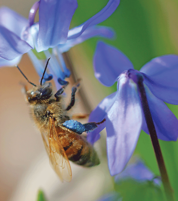 Blue Blossoms For Honey Bees Bee Culture