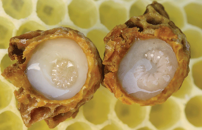Royal Jelly- A worker bee produced, protein rich, mother's