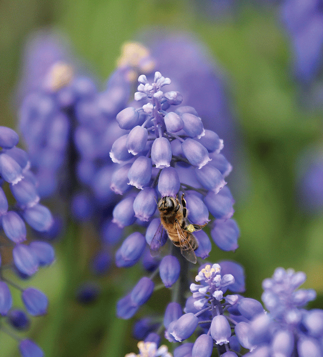 Common name of blue flowers wiring diagrams blue blossoms for honey bees bee culture rh beeculture com little blue flowers names deep blue flower names mightylinksfo