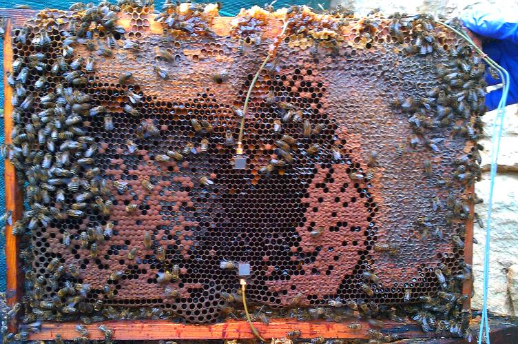 CATCH THE BUZZ – A honey bee vibration signal might also be a kind of startle response, issued when the tiny fliers bump into each other in the hive.