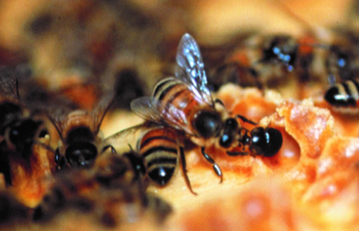 CATCH THE BUZZ – Nova Scotia Threatened by Small Hive Beetles From Ontario