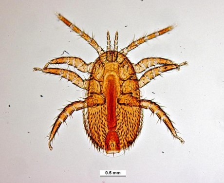 CATCH THE BUZZ – Get to Know Tropilaelaps Mites, Another Serious Parasite