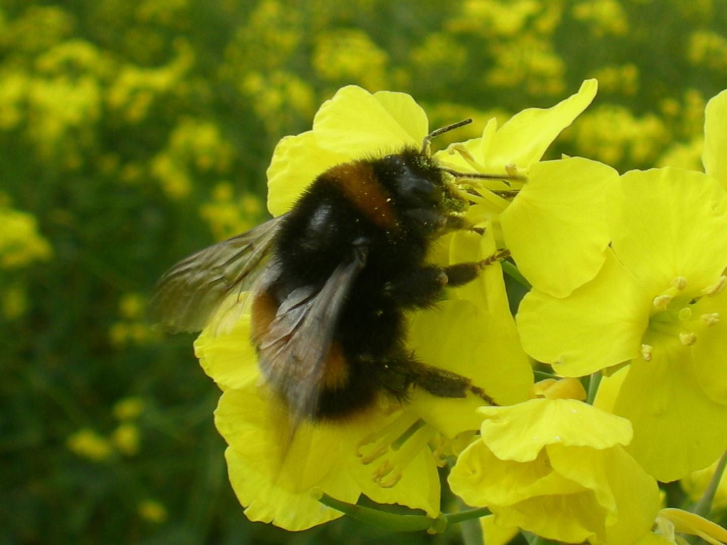 CATCH THE BUZZ – Neonic pesticides threaten wild bees' spring breeding, study finds