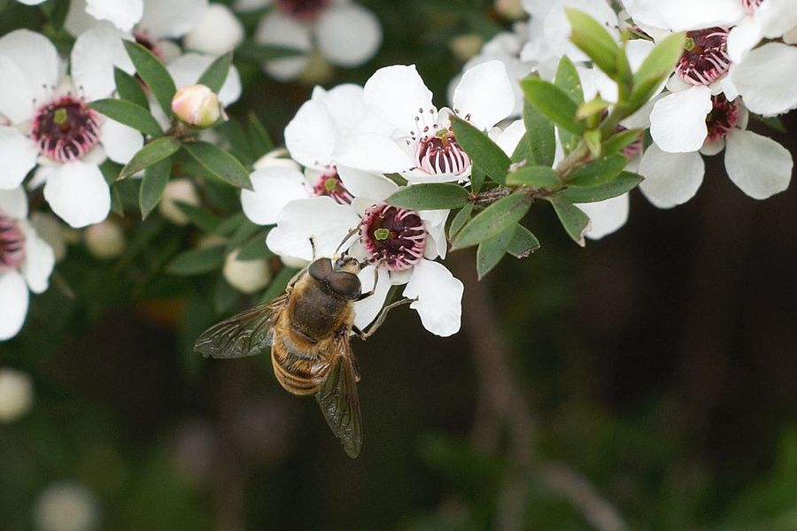 CATCH THE BUZZ – Manuka honey testing failing some product