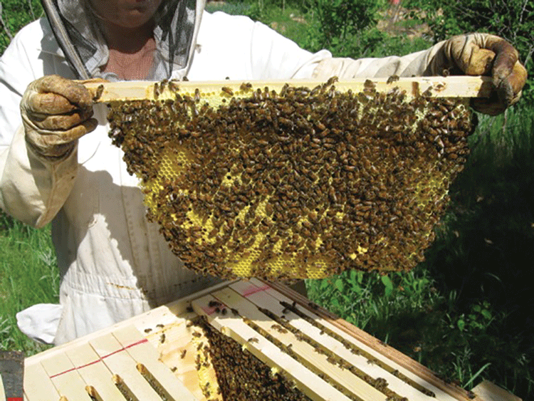If Youu0027re Going To Manage Your Top Bar Hive For Honey Production U2013 Youu0027re  Going To Have Problems.