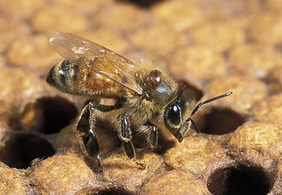 CATCH THE BUZZ – Human activity is a key driver in the spread of pathogens afflicting the European honey bee (Apis mellifera) says OZ researcher.