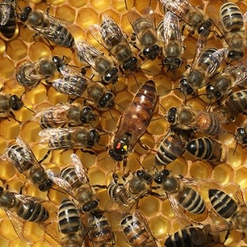 CATCH THE BUZZ – Mite-Resistant Russian Honey Bees Might Not Prevent Varroa Infestations