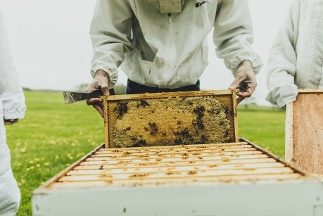 CATCH THE BUZZ – N.Y. honeybees stung hard by varroa mite, researchers find