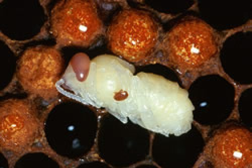 CATCH THE BUZZ – Bees Are Starting To Evolve To Survive Destructive Varroa Mite, Researcher Says