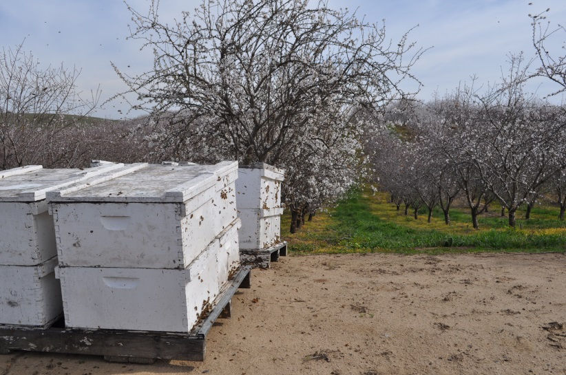 CATCH THE BUZZ – A New UC Study Finds That Almonds And Honey Bees Depend On Each Other, And Pollination Fees For Almond Orchards Have Stabilized After Sharp Increases A Decade Ago.