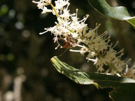 CATCH THE BUZZ – Improving Macadamia Tree Yields By More Than 50 Per Cent Could Be Achieved By Alternating Varieties In Rows And Increasing Pollinators.