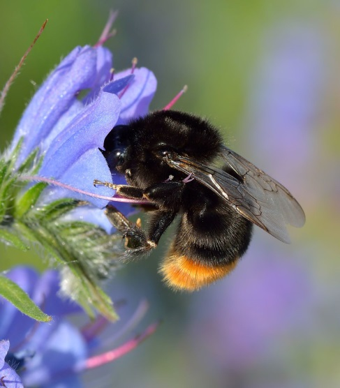 CATCH THE BUZZ – Bumblebee Queens Have It Tough After Being Exposed To Neonic Pesticides.