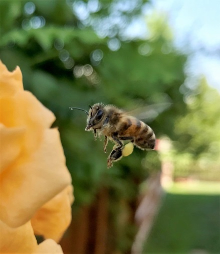 CATCH THE BUZZ – The Honey Bee Health Coalition Has An Innovation Award Challenge. Check It Out!