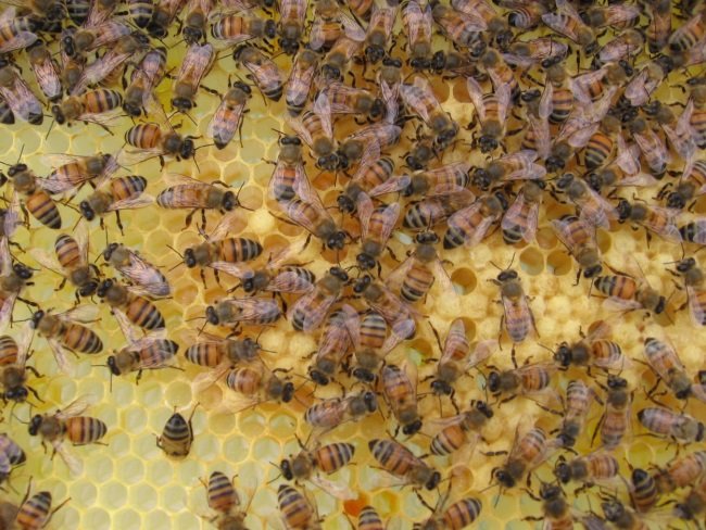 CATCH THE BUZZ – A Protein Produced By Honey Bees Could Inspire The First New Antibiotic In 30 Years.