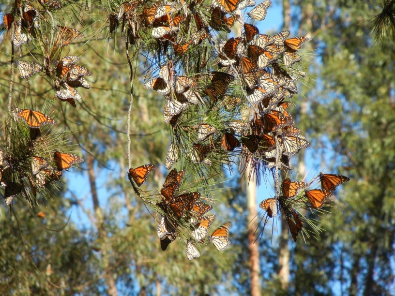 CATCH THE BUZZ – Monarch Decline In Western North America Is More Severe Than In East