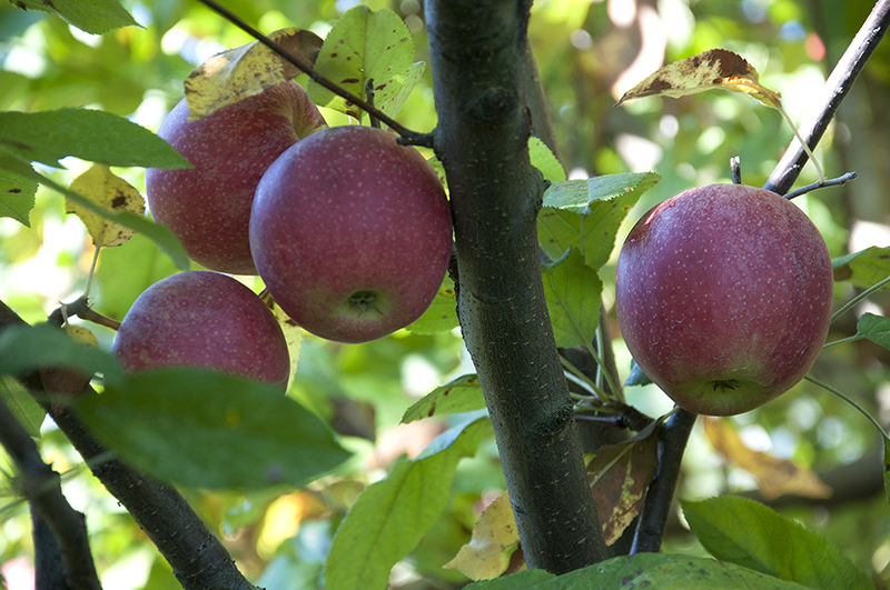CATCH THE BUZZ – Apple Trees Bear More Fruit When Surrounded By Good Neighbors, And Good Honey Bees. Be Sure Your Grower Knows That.
