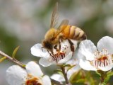 CATCH THE BUZZ – Same Plants, Same Honey … So Why Does New Zealand Want To Trademark Manuka?
