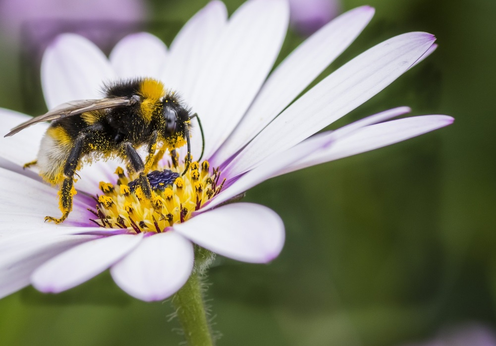 CATCH THE BUZZ – Fungicides make Insecticides and diseases even worse for bees