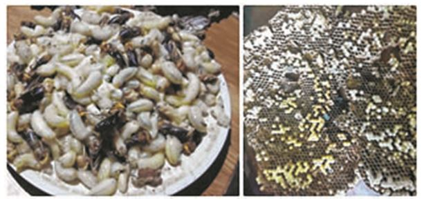 CATCH THE BUZZ – Bee Larvae – Rich Man's Food In Ukhrul, In The North Eastern State Of Manipur, India.