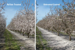 CATCH THE BUZZ – Tips to Maximize Almond Yield in a Wet Year. More Bees, and A Plant Growth Regulator.
