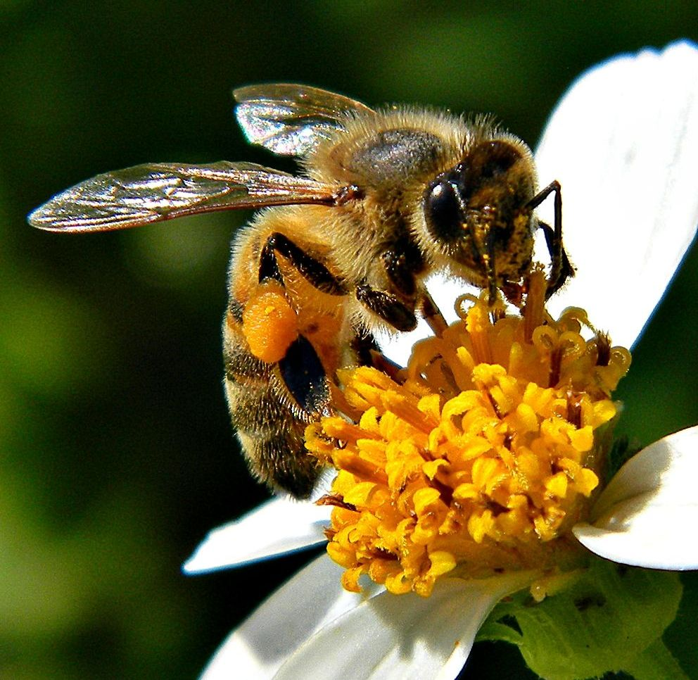 CATCH THE BUZZ – Researchers ID What Each Bacterial Species Found In A Bee Gut Contributes To Bee Digestion.
