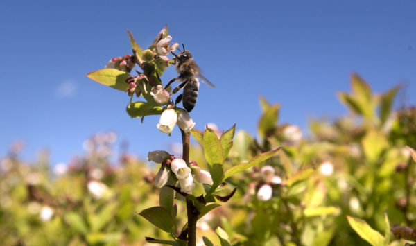 CATCH THE BUZZ – Market Glut Hits US Wild Blueberry Growers Badly.