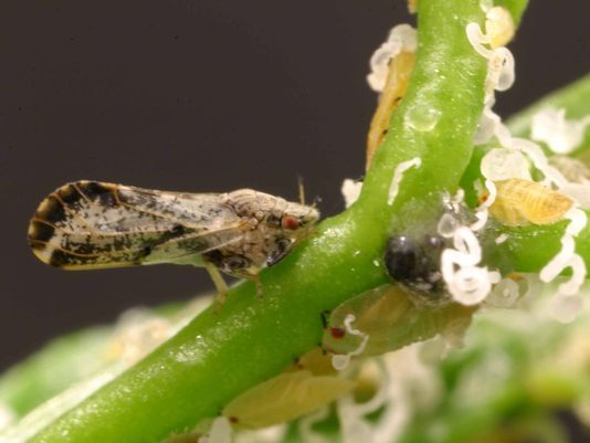 CATCH THE BUZZ – Psyllid Zapper, Resistant Trees Among Tactics To Combat Florida's Citrus Greening.