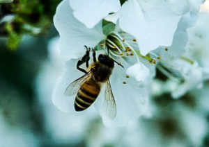 CATCH THE BUZZ – ND, CA Working Together for Bees. Common Sense Might Just Win.