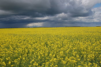 CATCH THE BUZZ – Agriculture This Week – Canola Market Will Face Pressures.