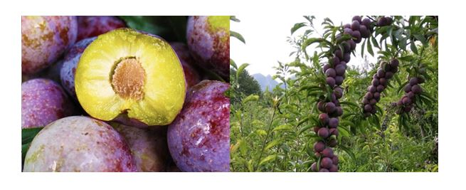 CATCH THE BUZZ – More Bees Means More And Bigger Plums. Go Figure!