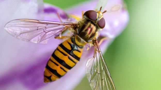 CATCH THE BUZZ – Familiar Hover Flies May Be Transporting Honey Bee Diseases From Flower To Flower.