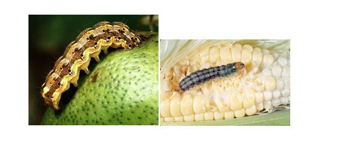 CATCH THE BUZZ – Cotton Bollworm, Corn Ear Worm hybrid could be the worst pest ever. And it already exists in Australia and Brazil.