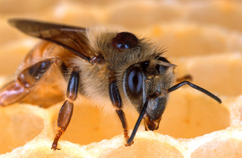 CATCH THE BUZZ – Cold Storage for Honey Bee Colonies Breaks the Brood Cycle and Makes Varroa Treatments More Effective. How Cool!!