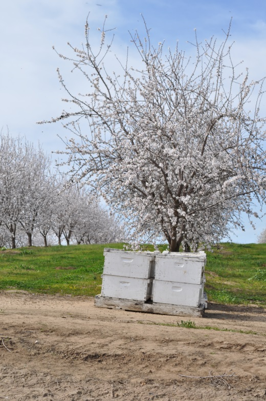 CATCH THE BUZZ – Almond Acreage in California Grows to Record Total – 1.3 Million Acres
