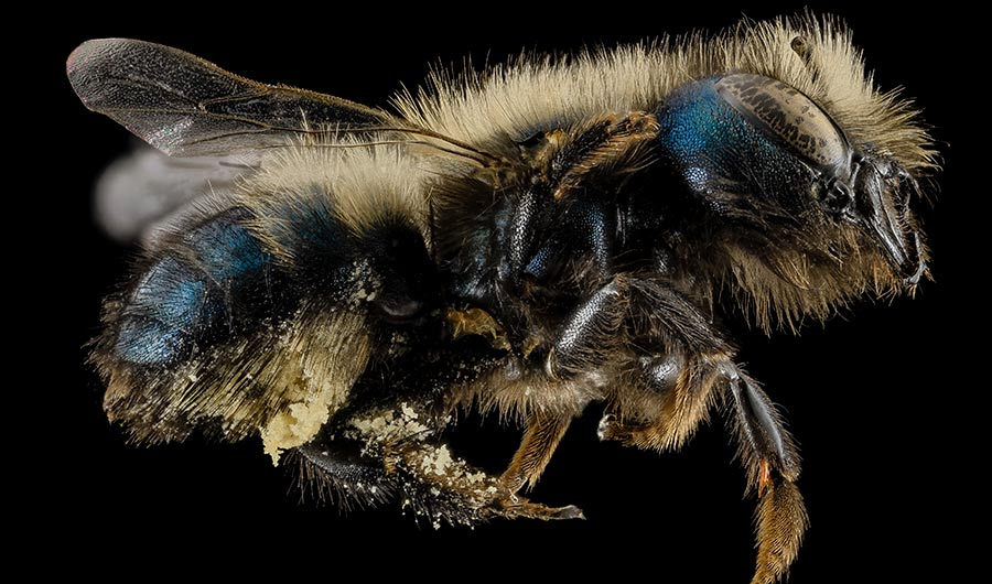 CATCH THE BUZZ – Farmers, Scientists and Beekeepers are Working to Raise Blue Orchard Mason Bees to Pollinate Valuable Orchard Crops.