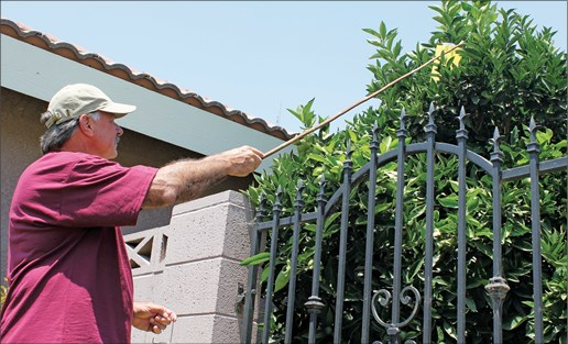 CATCH THE BUZZ – Citrus Greening Infestations Slowing in California, But Have Not Stopped!