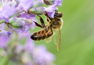 CATCH THE BUZZ – Africanized Honey Bees Have a Different Chemistry than Non-Africans.