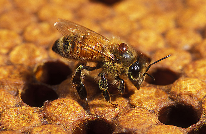 CATCH THE BUZZ – Attention US Beekeepers: Researchers Need Mites to Sample. Check Out How, and Why