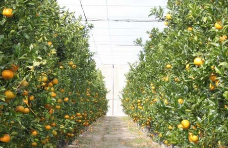 CATCH THE BUZZ – Citrus Under Protective Screening Keeps Out Greening, Strong Winds and Honey Bees