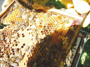 CATCH THE BUZZ – New Zealand Beekeepers Baulk at Proposed Levy, Similar to Early US Honey Board