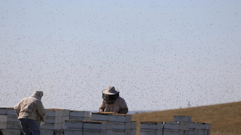 CATCH THE BUZZ – Pollinating as Important as Honey for Beekeeping Income
