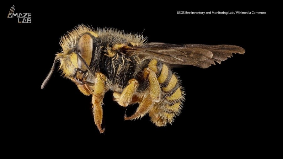 CATCH THE BUZZ – Researchers Discover Honey Bee Gynandromorph with Two Fathers and No Mother.