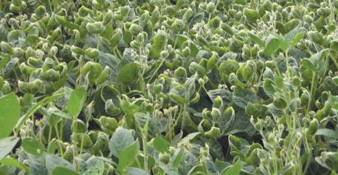 CATCH THE BUZZ – What Soybean Farmers Should Do To Prevent Dicamba Damage